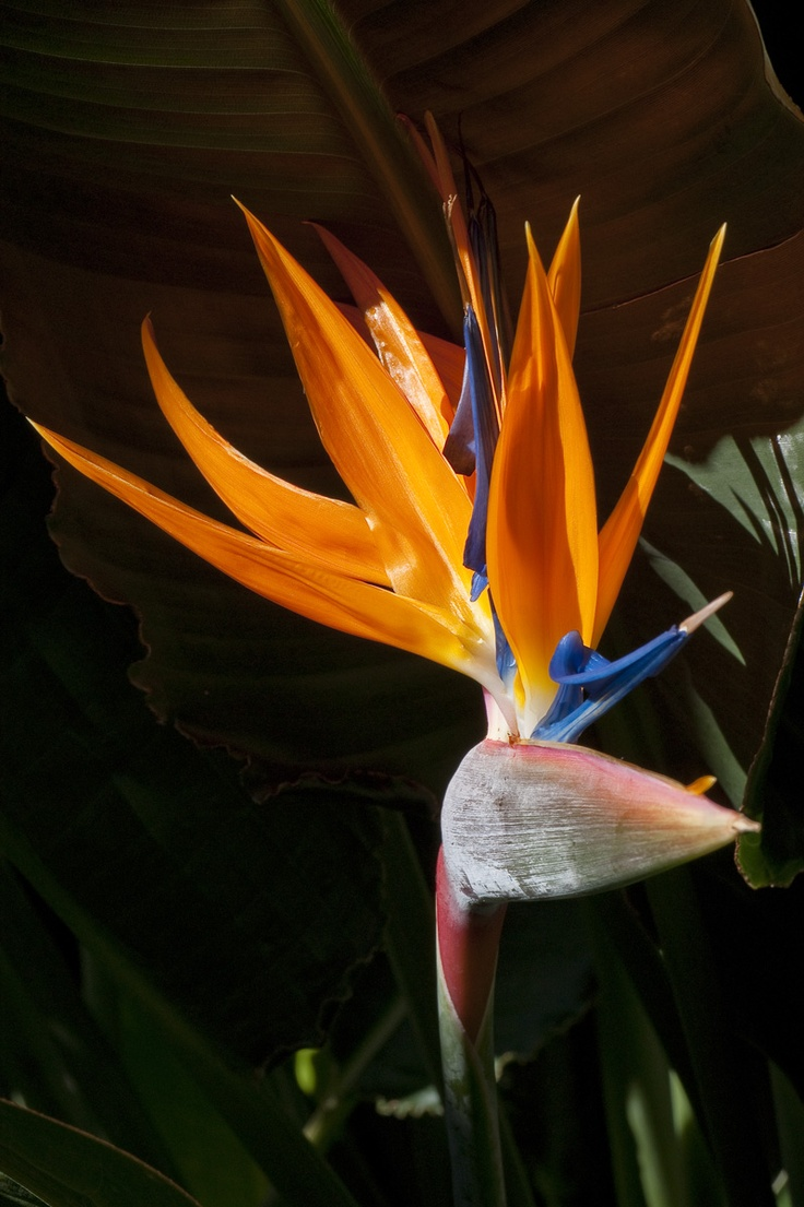 Great bird of paradise close up. Click through to download free flower wallpapers for your computer.