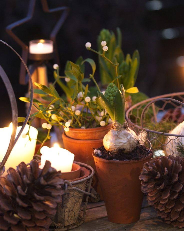 Planter des jacinthes pour décorer son jardin à Noël ...