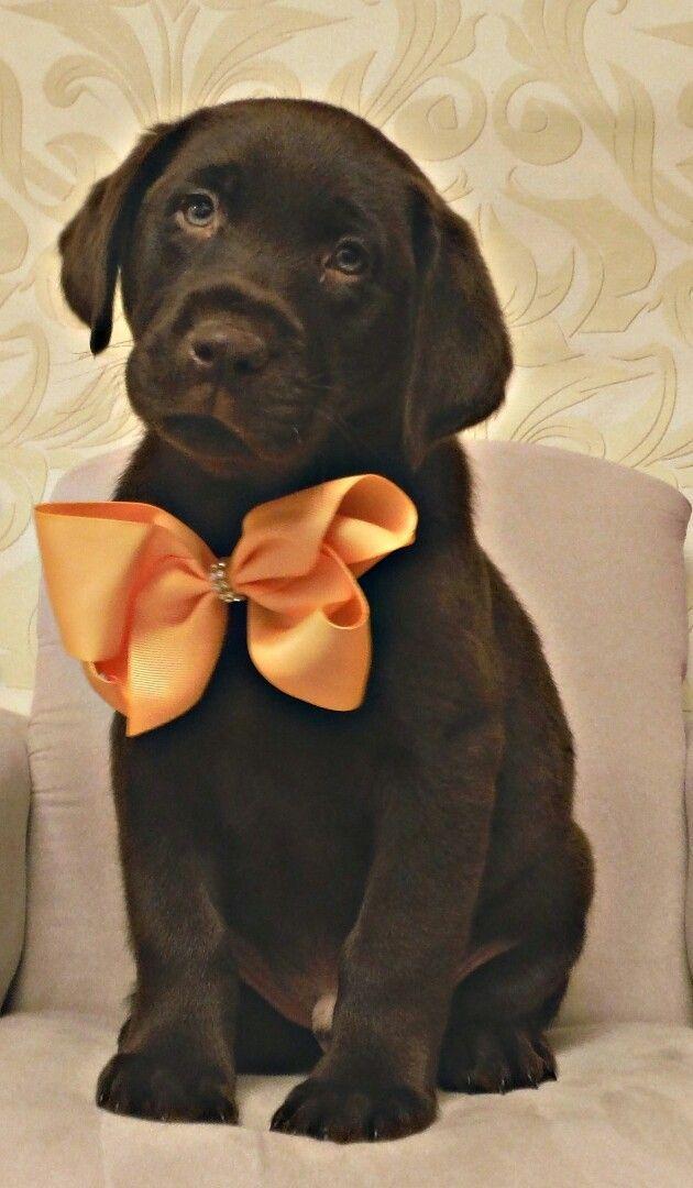 Labrador Puppy with orange bow