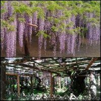 牛島の藤 (藤花園) 写真・画像【フォートラベル】|春日部