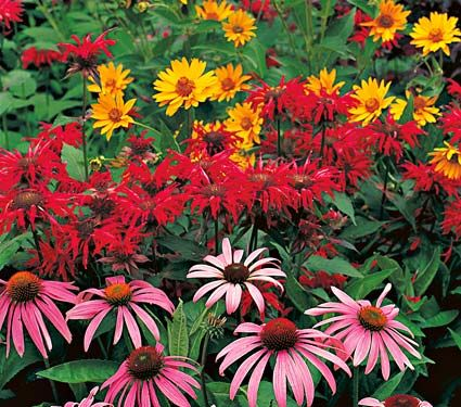 Three exceptional perennials will also attract birds and butterflies. Our Easy-Care Garden collection contains two each of the vibrant, carmine-rose Coneflower Echinacea purpurea 'Magnus', vigorous Monarda 'Jacob Cline' and semidouble, golden Heliopsis helianthoides 'Summer Sun'.: Flowers Gardens, Farms Gardens, White Flowers, Flowers Farms, Full Sun, Perennials Gardens, Easy Caregarden, Cut Flowers, Flowers Perennials