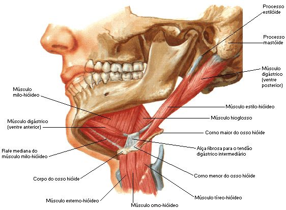 Aula de Anatomia | Músculos do Pescoço