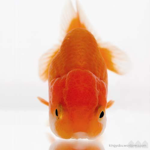ranchu goldfish.  super cute when it swims. #Goldfish #Photography