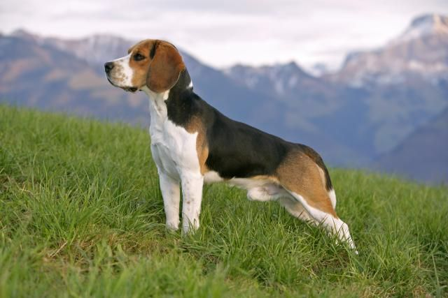 The Beagle is one of the most popular dog breeds in North America. Learn about the profile of the Beagle dog breed, including appearance, personality traits, history and health problems.