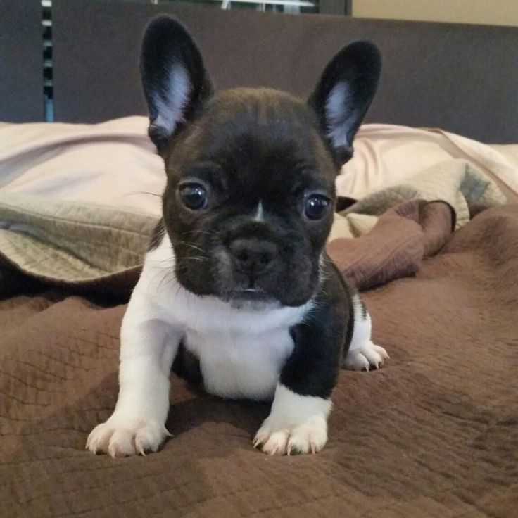 affordable french bulldog best 25 cheap puppies for sale ideas on pinterest cheap 7799
