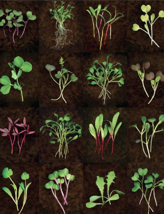 1000 images about microgreen vegetable art on pinterest for Best growing medium for microgreens