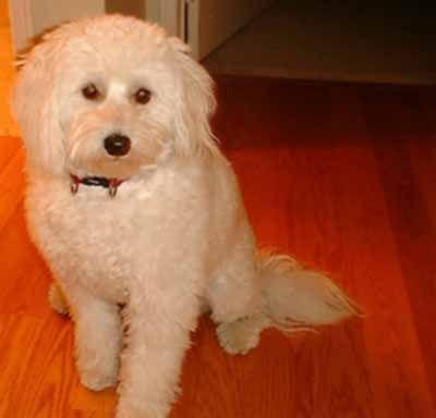 Eskipoo (American Eskimo Poodle Mix) Info, Temperament, Puppies, Pictures, Video
