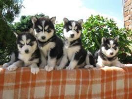 Puppyplaats.nl - husky pups met blauwe ogen - Siberische Husky pups