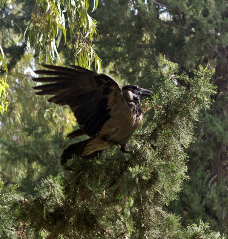 A crow in a park near my home