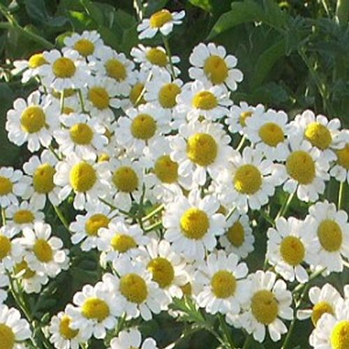 1630 best fragrant flowers images by cheryl sue on pinterest german chamomile a semi spreading plant that grows to 12 inches with fragrant mightylinksfo