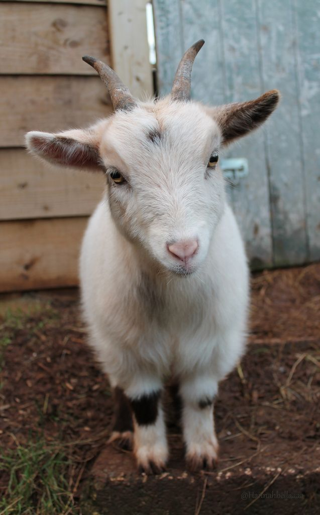 Pygmy Goat | The cutest animal on earth! | Hannahbella Photography | Flickr