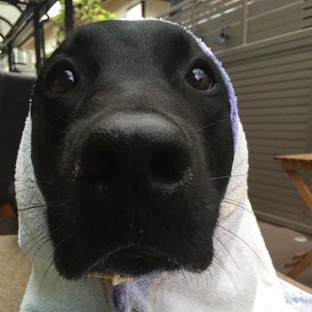 今日は雨なので☔️ * コタコタ坊主さん登場です✨ * 雨やみますように〜 * 頼むで〜笑 * #dog#dogsofinstagram#dogs#instadog #doglover#dogoftheday #dogsofig#ilovemydog#doglovers #dogofinstagram#愛犬#家族#犬#犬ばか部#親バカ#犬なしでは生きていけません会#多頭飼い #ラブラドール#ラブラドールレトリバー#黒ラブ#labrador#黒ラ部#大型犬のいる生活#大型犬#お返事前にすみません