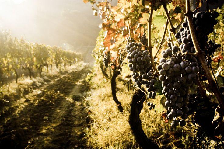 Montepulciano, Italy  Valdipiatta vineyards, early morning just before the harvest