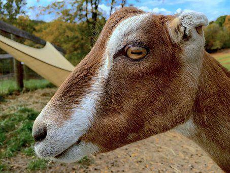 Koza, Profil, Portret, Zwierząt