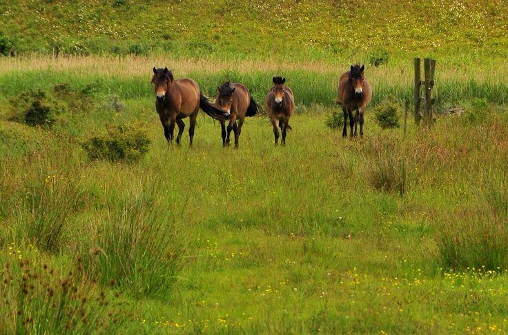 Vilde heste ved diget mod Østersøen