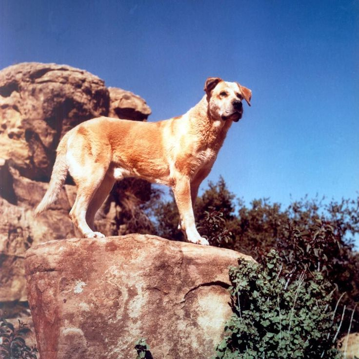 best disney s old yeller images old yeller  the star of old yeller 57 was a dog d spike who was