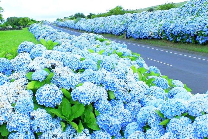 Basketball Size Hydrangeas on The 'Blue Island' in the Azores ...