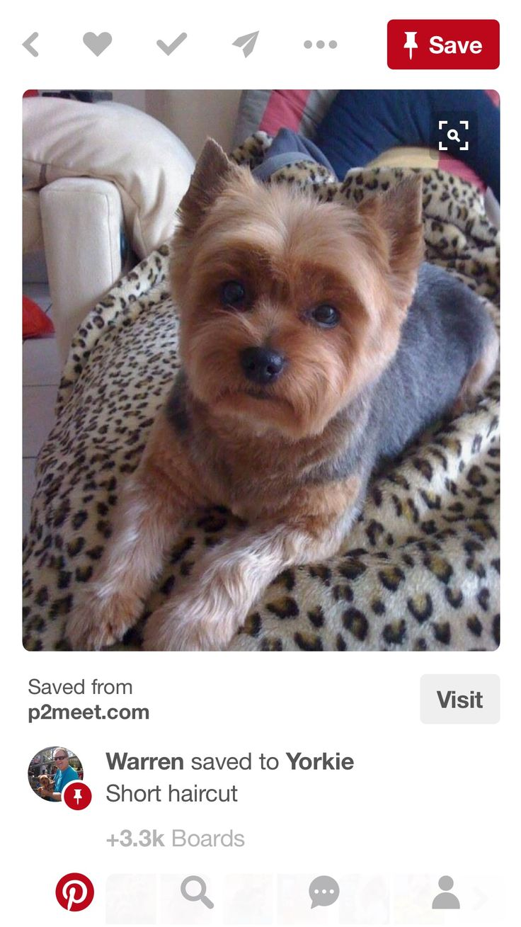 Yorkie hairstyles short hairstyle haircuts - Find This Pin And More On Yorkie By Judewahl Short Haircut
