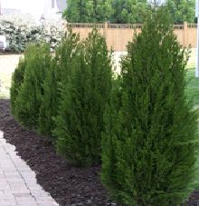 Spartan Juniper - columnar shape with very dense branches and reaches a mature height of 15-20 feet, making it a good selection for those desiring a privacy hedge or wind barrier.