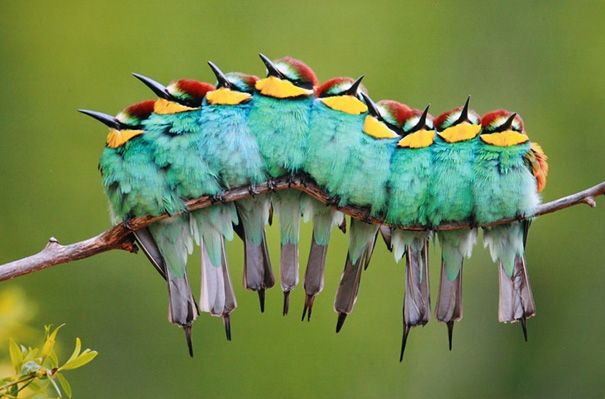 Caterpillar or Actually it's a group of European Bee-Eaters sat on a branch.