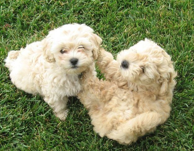 malti poos. i want these babies!
