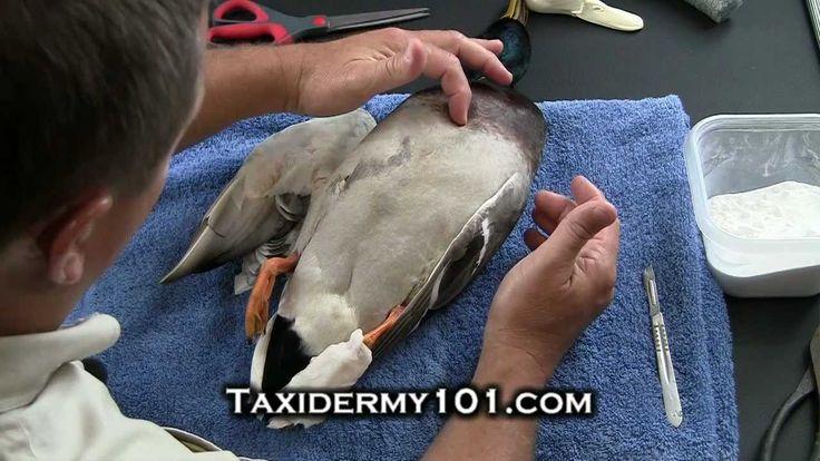 How to Taxidermy - Bird Taxidermy - Taxidermy Videos