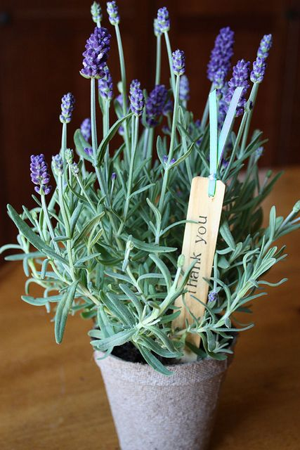 """English Lavender in a 3"""" peat pot & garden """"thank you"""" stake. (Lovely party favor... no transplanting, just pop in the ground & they're done.)"""