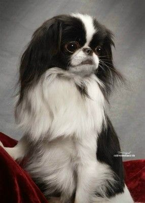 Japanese Chin    THIS IS THE ONE AND ONLY BABY!