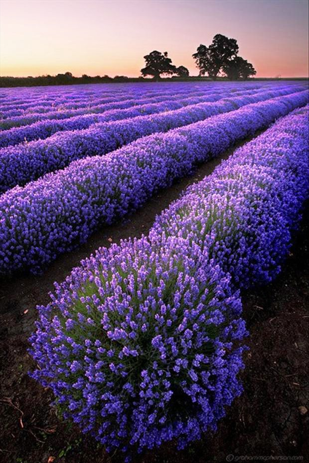 Lavender Field, Eynsford, England. Beautiful