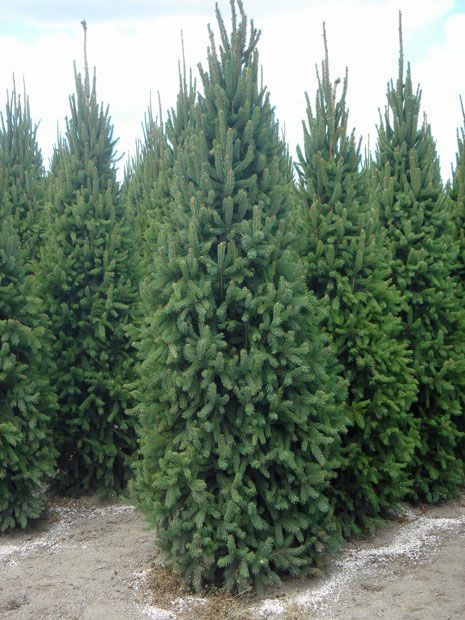 Columnar Norway Spruce Privacy Plants Pinterest