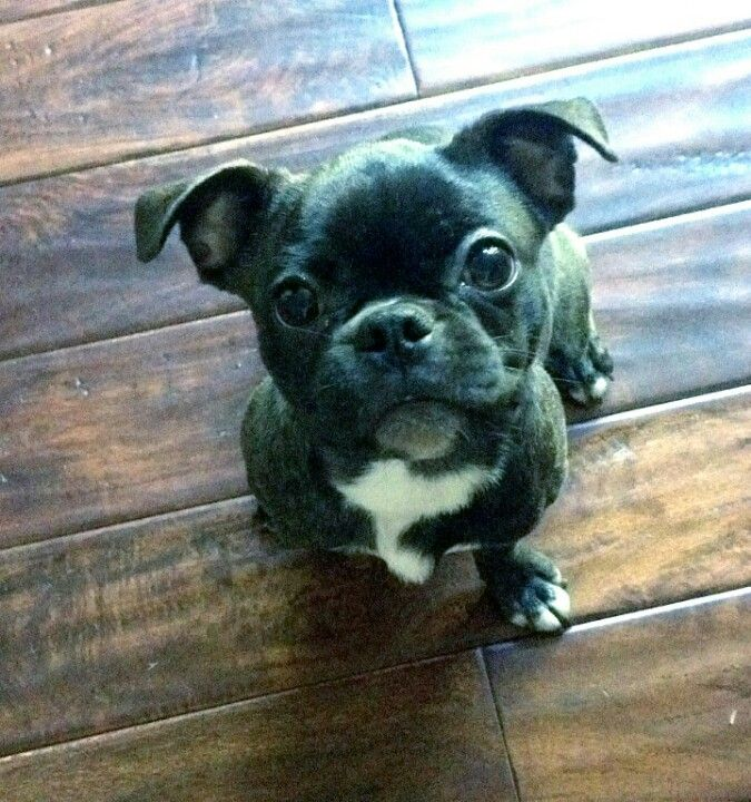 Baby Bugg Dog