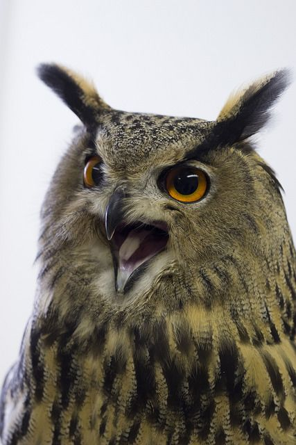 Eurasian Eagle Owl // Grand-Duc d'Europe -