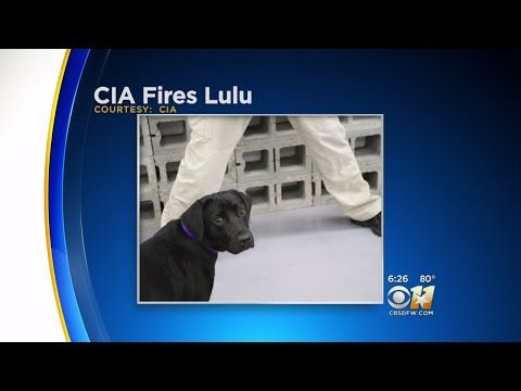 Officially...Archangel641's Blog: Bomb sniffing dog fired by CIA.
