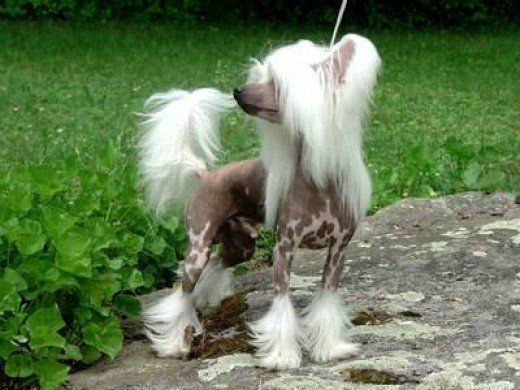 The Top 10 Ugliest Dog Breeds in the World | PetHelpful