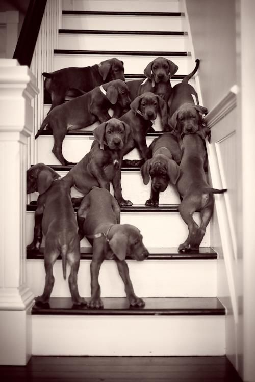 10 Great Danes... I would be in heaven!