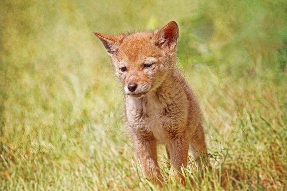 Coyote Print, Baby Coyote, Baby Animals, Coyote Decor ...