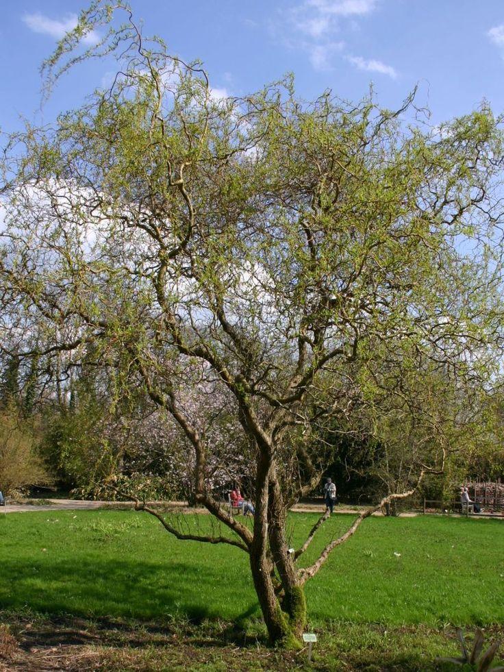 Korkenzieherweide 'Tortuosa' - Salix matsudana 'Tortuosa'