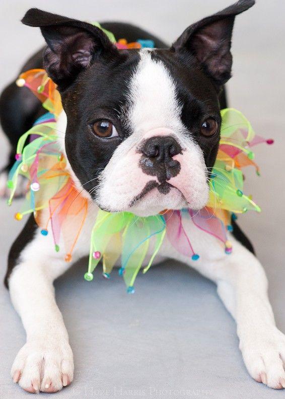 Boston Terrier: Boston Baby, Boston Bull, Cute Pet, Baby Animal, Baby Dogs, Boston Terriers I, Parties Pooper,  Boston Terriers, Adorable Animal