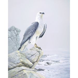 """""""White Breasted Sea Eagle"""" limited edition by Jeremy Boot"""