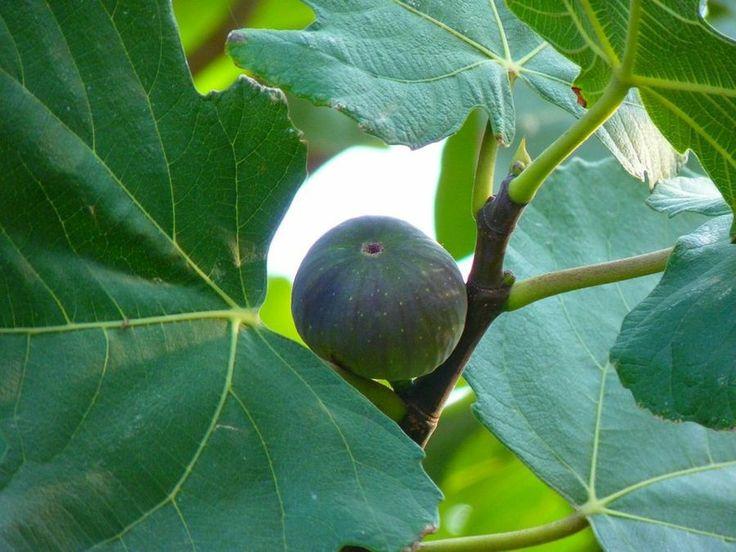 Las 25 mejores ideas sobre rboles de crecimiento r pido - Plantar arboles frutales ...
