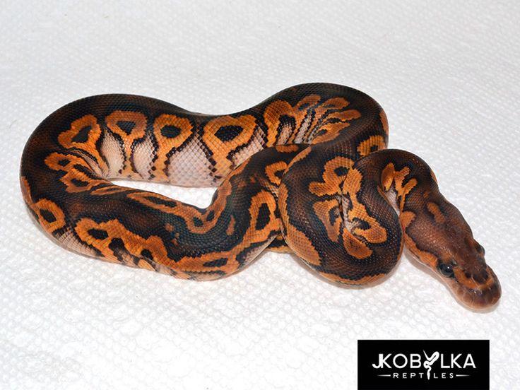 Black Pastel Leopard Clown - Morph List - World of Ball Pythons