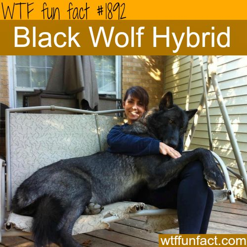 "Black Wolf Hybrid - That's one ""Big Bad (@$$) Wolf,""  ~WTF!?! big, weird and fun facts"