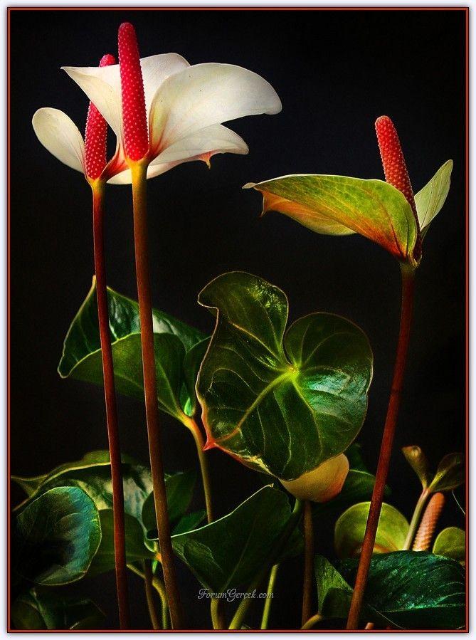 Antoryum Flamingo Cicegi Bakimi Uretimi Yetistirilmesi Sayfa 4 Forum Gercek In 2020 Plants Plant Leaves Leaves