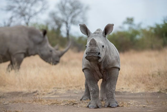 One of the smallest rhino calfs around. Photograph by Mike Sutherland.