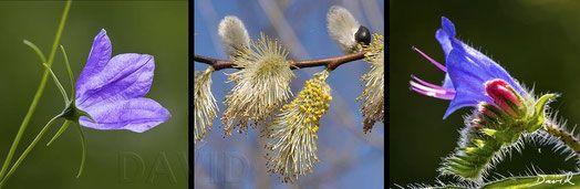 Glockenblumen (Campanula), Weiden (Salix) und Natternkopf (Echium9 gehören mit zu den wertvollsten Pollenspendern für solitäre Wildbienen. 15 einheimische Wildbienenarten sammeln Pollen ausschließlich an diesen drei Gattungen. (wildbee, wildlife garden, viper's bugloss, blueweed, bluebell, bellflower, willow)