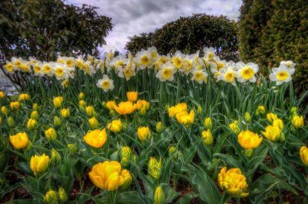 nárcisz mező - tavasz, természet, nárcisz, mező