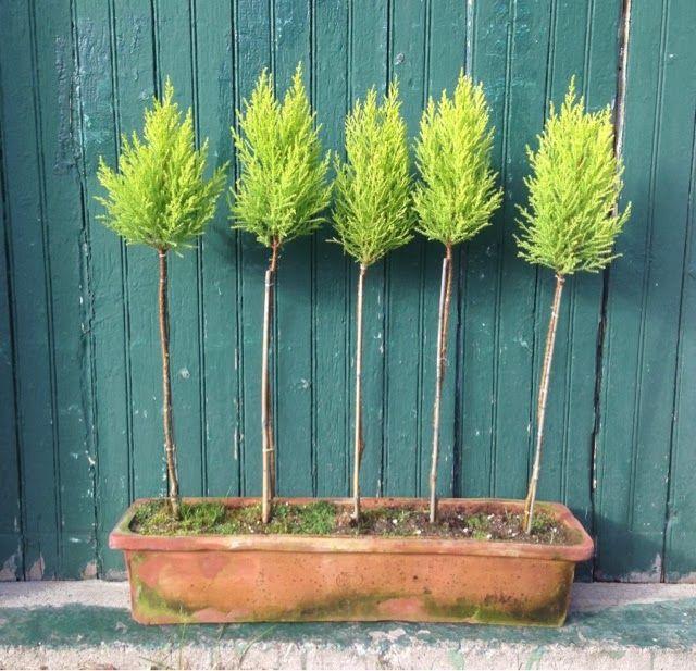 Our Synonymous Topiaries: Lemon Cypress or Cupressus Macrocarpa