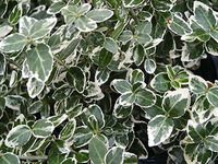 Fusain panaché vert / blanc euonymus emerald gaiety