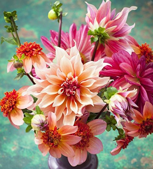 William Morris Dahlia Collection- Sarah Raven Dahlia 'Totally Tangerine' Dahlia 'Labyrinth' Dahlia 'Bacardi'