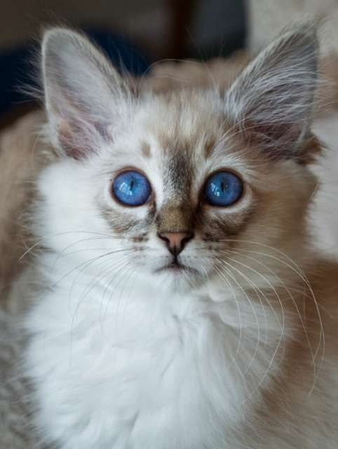 Kittens for adoption : Kitten and cat classifieds / Balinese cat